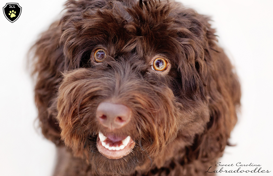 Sweet Carolina Labradoodle Headshot