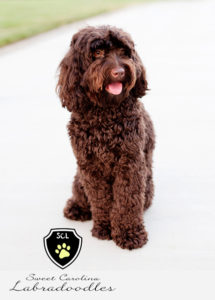 labradoodle_dog_breed_sweet_carolina_labradoodles