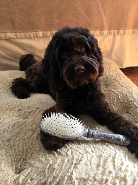 Daily Grooming for Labradoodles
