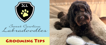 Labradoodle Grooming Tips