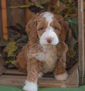 Available Puppies 2019 and Past Litters – Sweet Carolina Labradoodles