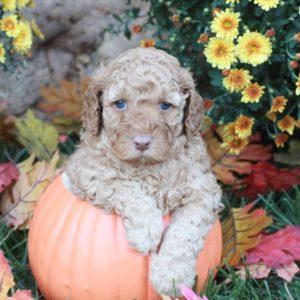 Beethoven in Pumpkin
