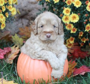 Hazel in Pumpkin