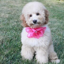 Labradoodle Lucy